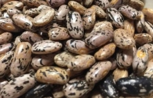 green bean seeds 6